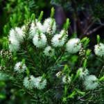 Aceite del Árbol del Té para eliminar los piojos